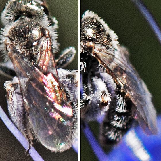 Little bee on Phacelia