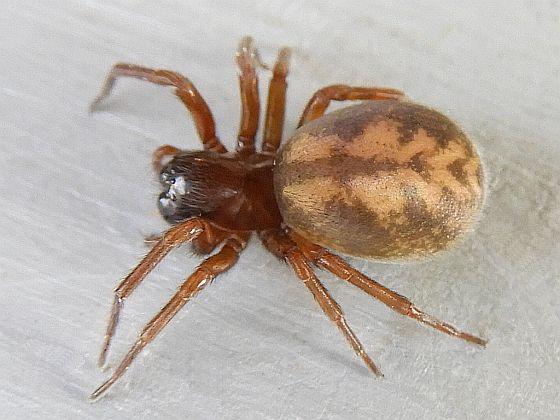 Pennsylvania Spider for ID - Callobius bennetti