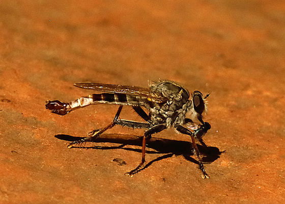 Mystery robber fly - Efferia albibarbis - male