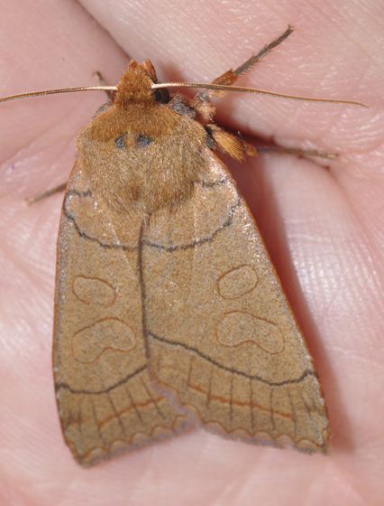 Unknown moth - Metaxaglaea inulta