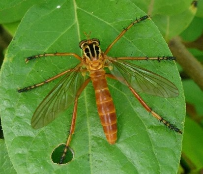 robber fly? - Diogmites