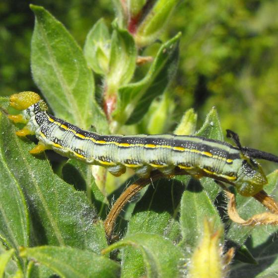 primrose cat  1 - Hyles lineataHyles Lineata Caterpillar