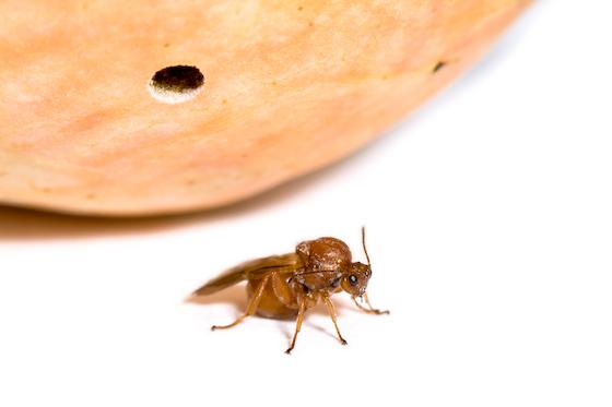 California Gall Wasp (Andricus quercuscalifornicus)? - Andricus quercuscalifornicus