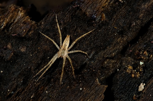 Spider Garden ? - Pisaurina mira