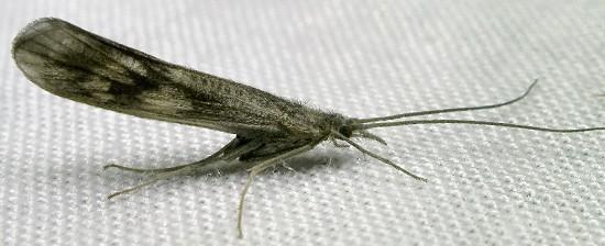 caddisfly - Molanna
