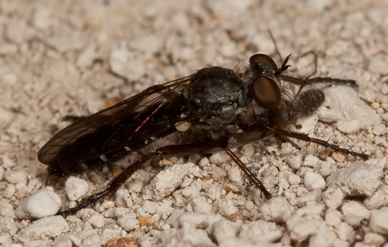 Robber Fly - Cophura brevicornis