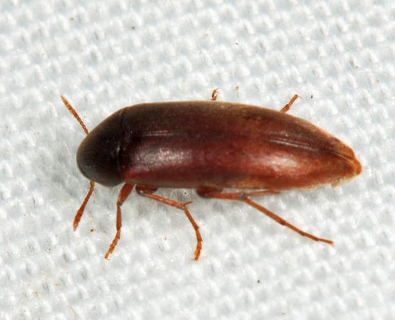 False Darkling Beetle - Orchesia castanea - female