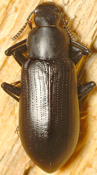 Beetle ID - Alobates pensylvanicus