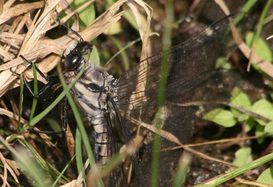Large Dragonfly - Tachopteryx thoreyi - female