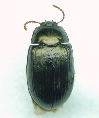 Platydema - Platydema teleops - male
