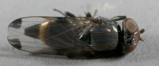 Fly ? - Euxesta notata - female