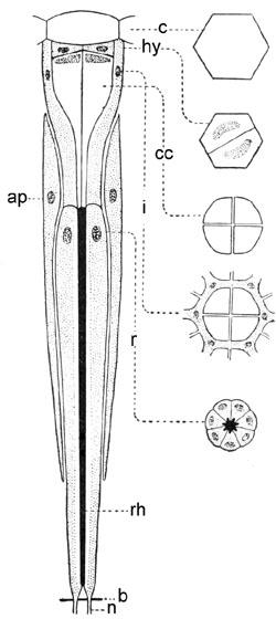 Ommatidium of Machilis