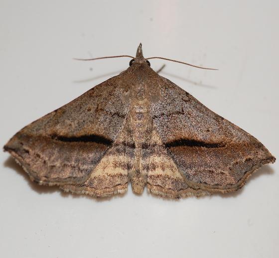 Buttonbush Moth - Ledaea perditalis