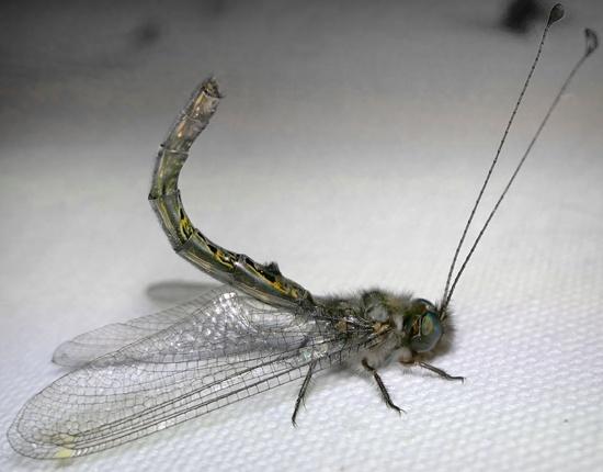 owlfly - Ululodes quadripunctatus