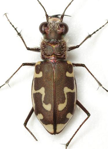 Cicindela hirticollis shelfordi Graves - Cicindela hirticollis