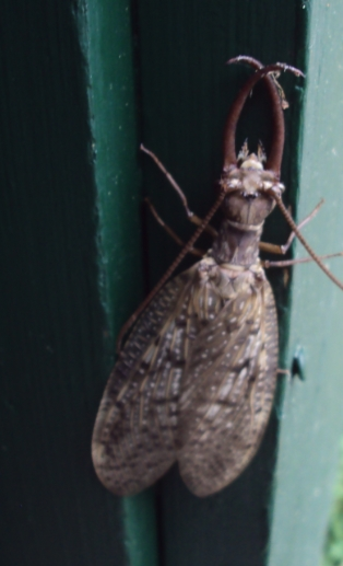 Dobsonfly (male) - Corydalus cornutus - male