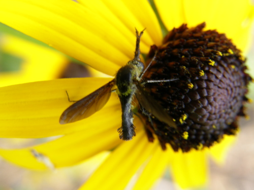 Hunchback Bee fly - Lepidophora lutea - Lepidophora lepidocera