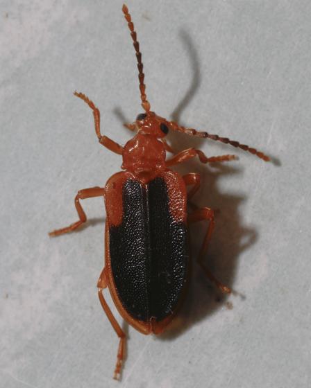 Fungus Beetle? - Ischalia vancouverensis