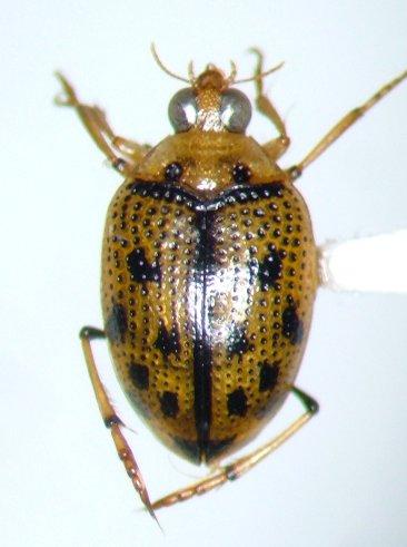 Peltodytes sexmaculatus - male