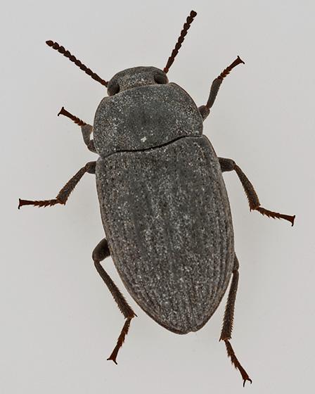 beetle - Blapstinus fortis