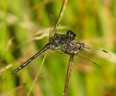 Black Meadowhawk - Sympetrum danae - male