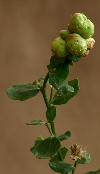 Gall - Midge (Fly) - Rhopalomyia californica - Rhopalomyia californica