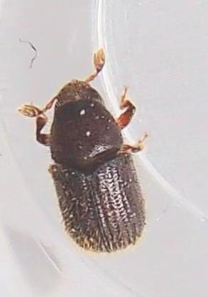 Scolytini - Phloeotribus liminaris