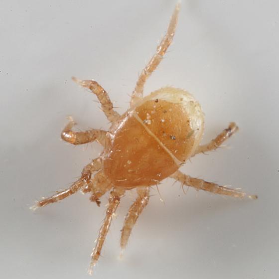 mite - Poecilochirus