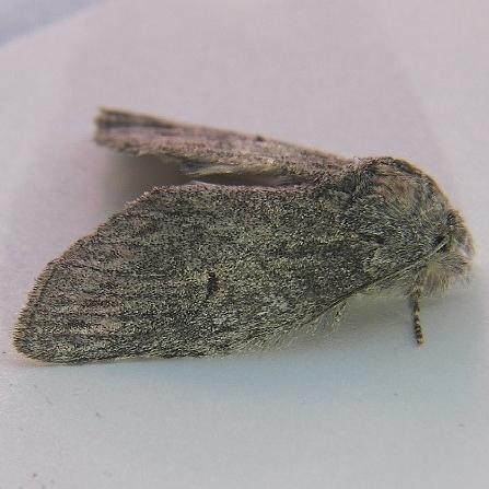 Heterocampa lunata - Hodges #7993 - Heterocampa lunata