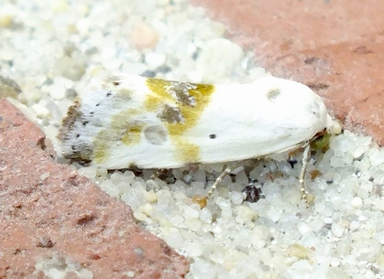 Olive-shaded Bird-dropping Moth - Ponometia candefacta