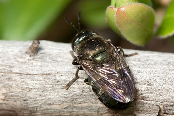 Soldier Fly - Microdon