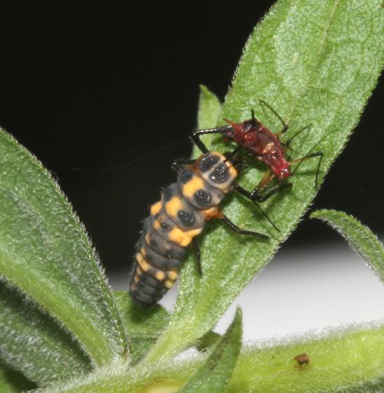Coccinellildae, larva - Cycloneda munda