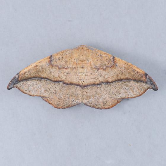 6974 Juniper-twig Geometer  - Patalene olyzonaria - female