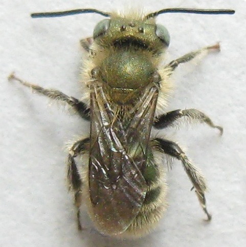 Bee - Osmia - male