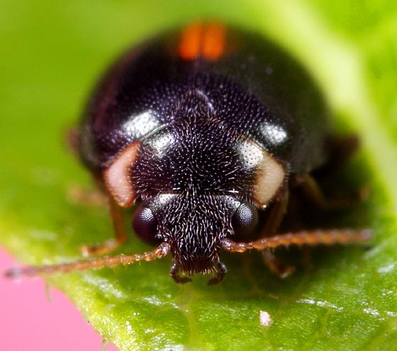Coleoptera - Scirtes orbiculatus
