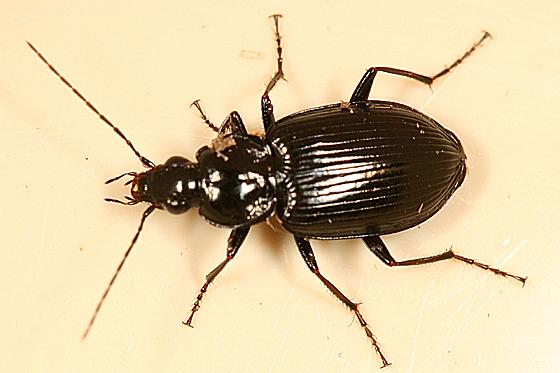 ground beetle - Agonum