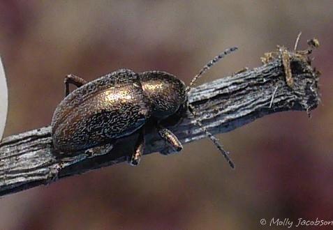 small shiny beetle - Graphops pubescens