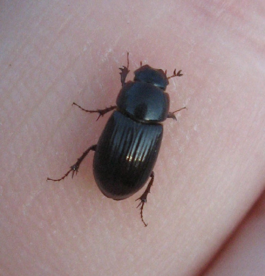 Coleoptera 05b - Aphodius