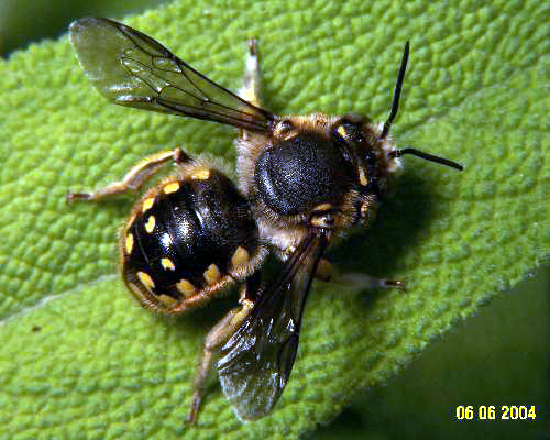 Hymenoptera / Megachilidae - Anthidium manicatum - male