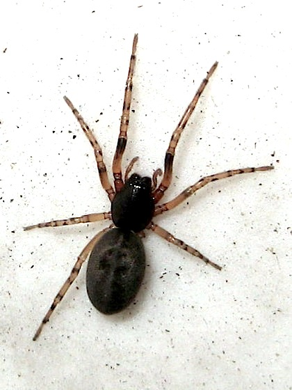 Black & gray spider