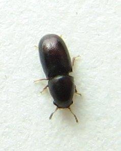 Minute Tree-fungus Beetle - Ceracis thoracicornis - female