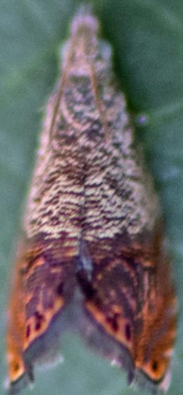 Moth - Talponia plummeriana