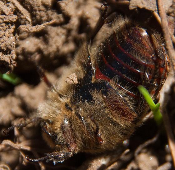bee sized beetle or scarab - Euphoria inda