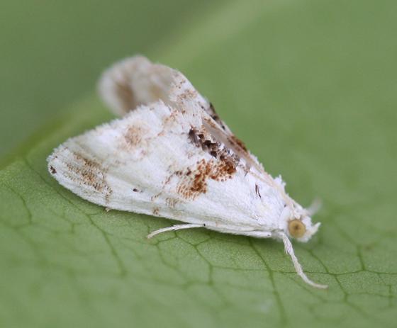 a white and brown Crambid Moth - Lipocosma