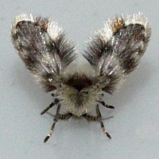 Moth Fly - Clytocerus