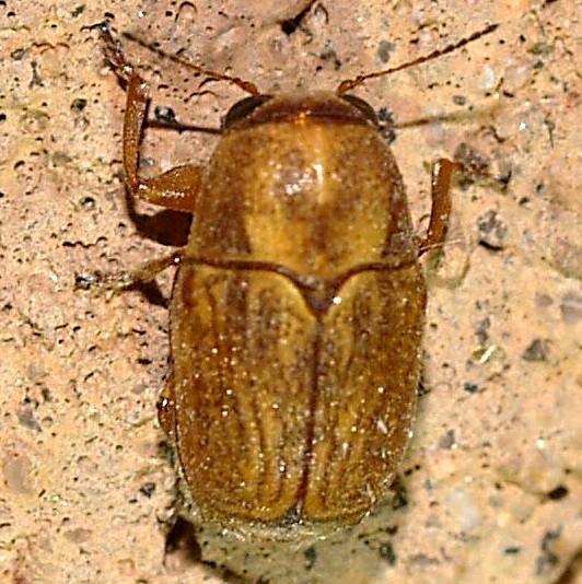 pachybrachis - Pachybrachis xanti