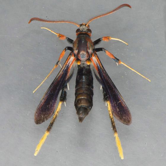 2589 Ash Borer Moth  - Podosesia syringae