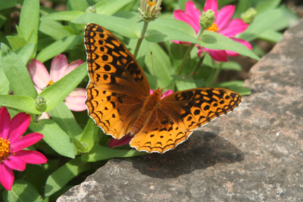 Great Spangled Fritilary - Speyeria cybele   - male