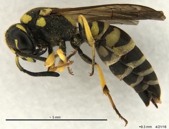 Vespidae 1 - Stenodynerus - female