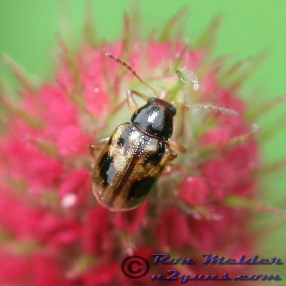 Beetle - Paria